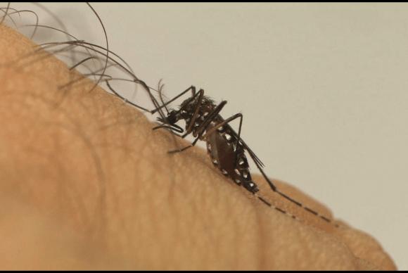 Aedes aegypti é o transmissor da zika, dengue e chikungunya (Foto Fiocruz).